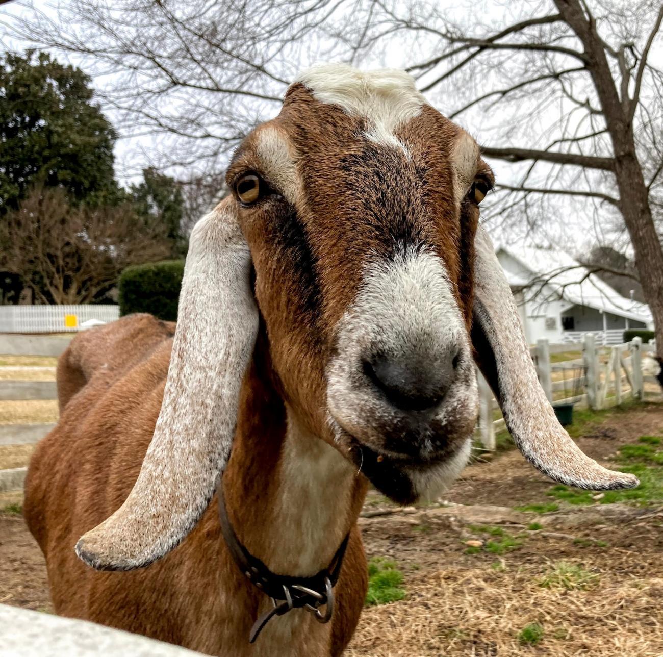 Oak View's Nubian goat named Levi