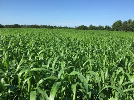 Picture of established millet cover crop