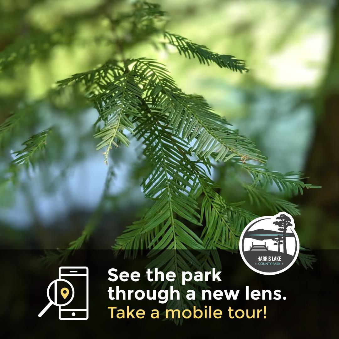 Graphic for the Cypress Tree Trail mobile tour