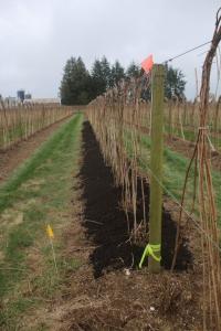 Manure applied along base of established raspberry canes.