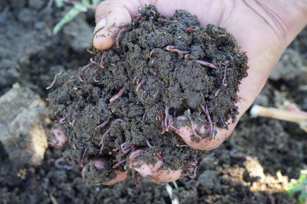 Hand holding clump of worms and worm castings