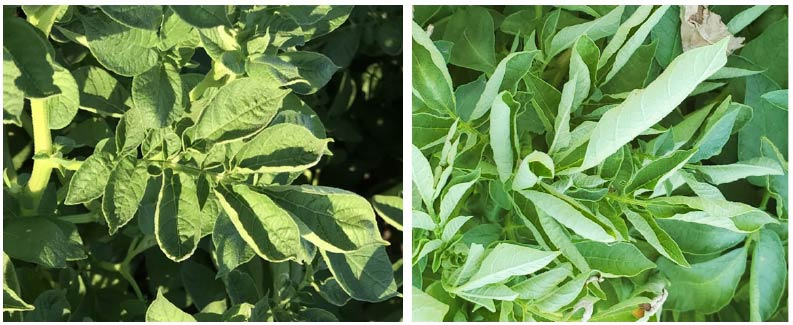 Two images of curled & folded potato leaves.
