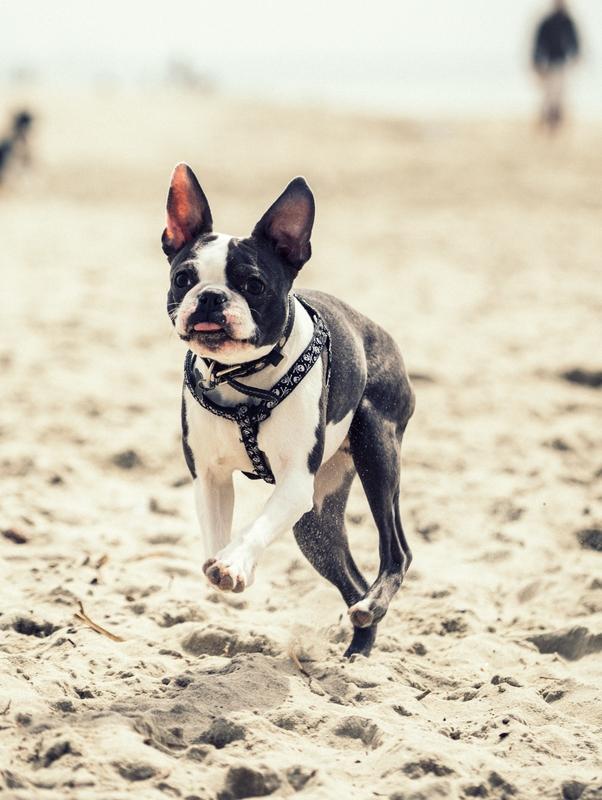 mike-marquez-unsplash-boston terrier