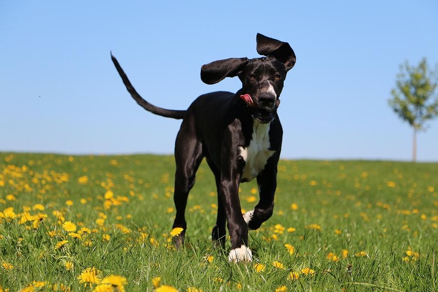 Black-Great Dane-Running