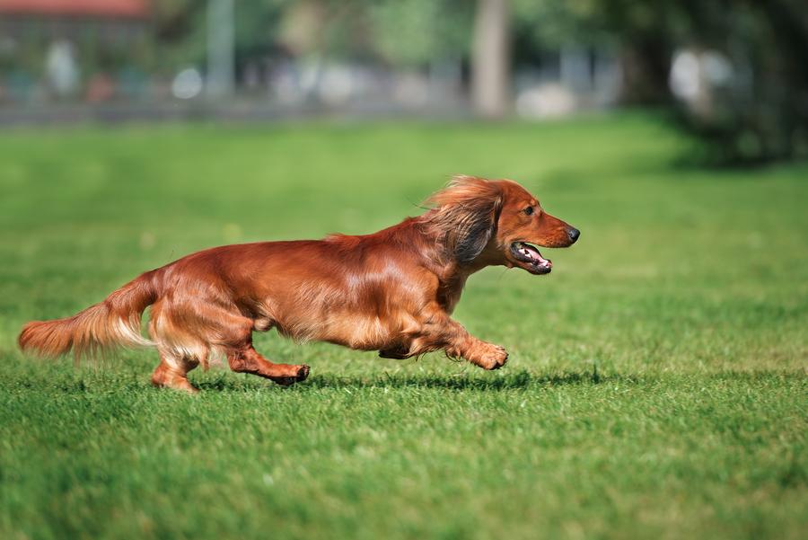 dachshund-running