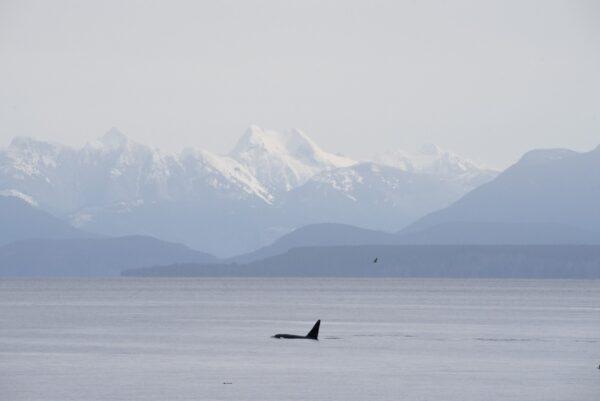 Orca Custom